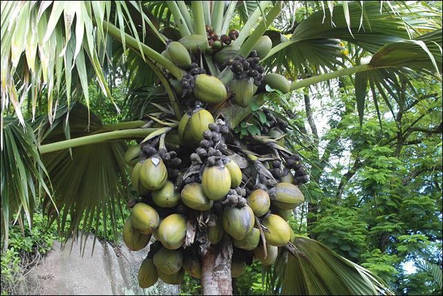 Сейшелы, кокосы