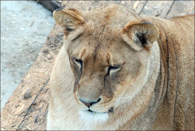 зоопарк, львица